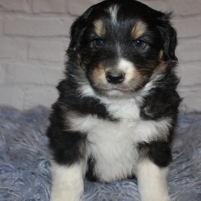AKC Black Tri Male (White) pup for sale at Lucasvile, Ohio