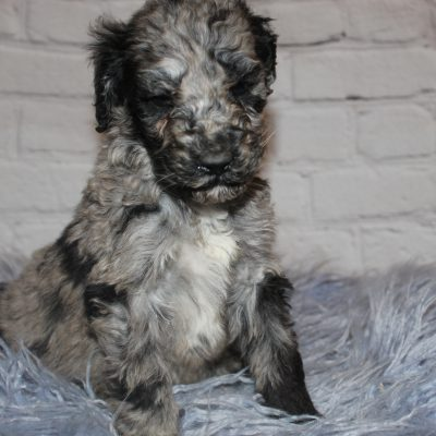 AKC Blue Merle Abstract pupper for sale near Lucasville, Ohio