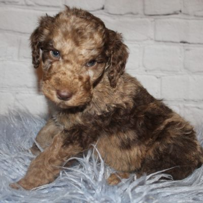 AKC Chocolate Merle Abstract doggie for sale in Lucasville, Ohio