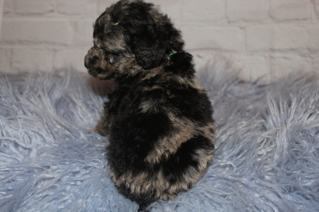 Blue Merle Abstract (Green) male doggie for sale at Lucasvile, Ohio