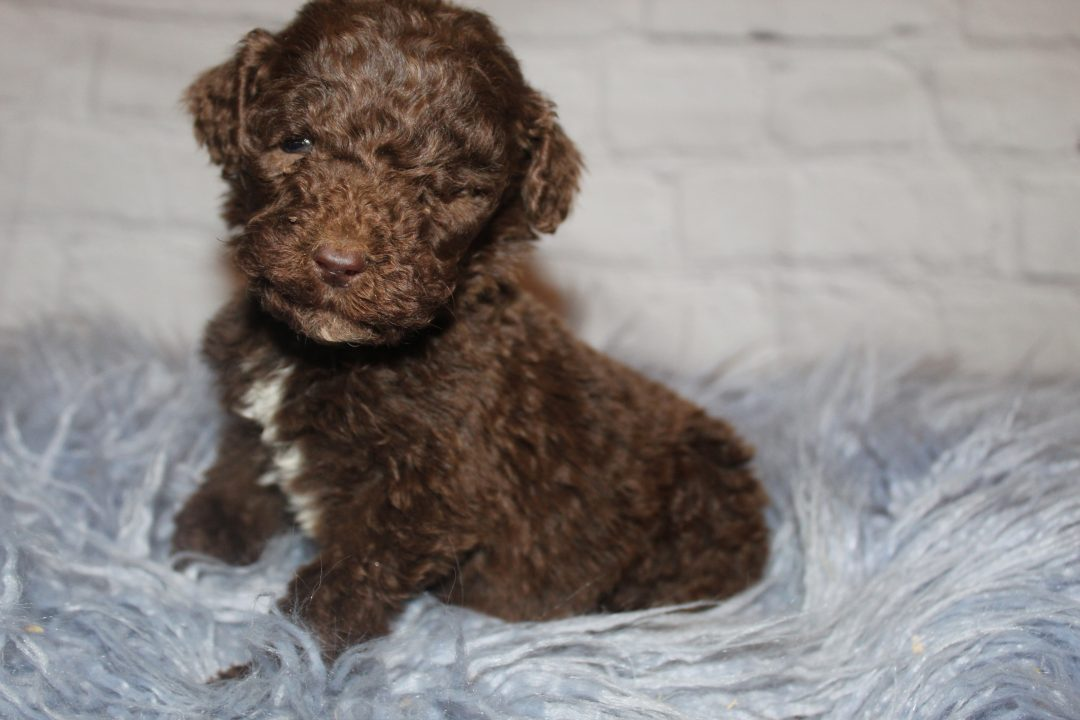AKC Brown Abstract (Yellow) male pup for sale in Lucasvile, Ohio