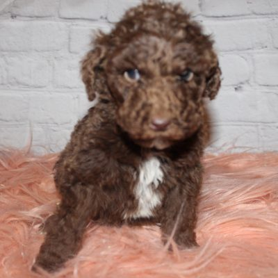 AKC Brown Abstract (Orange) - pup for sale near Lucasville, Ohio