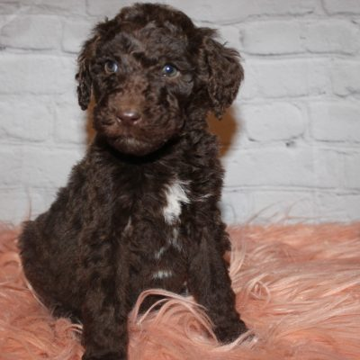 AKC female Brown Abstract (Pink) puppy for sale at Lucasville, Ohio