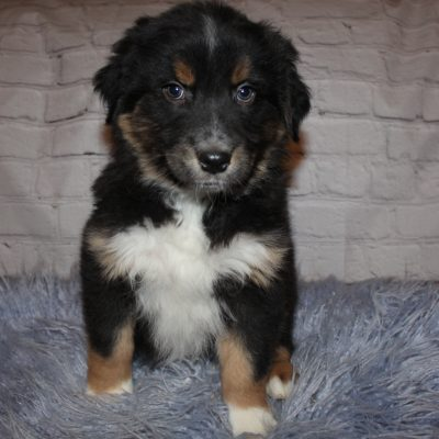AKC Black Tri (Green) puppy for sale near Lucasvile, Ohio