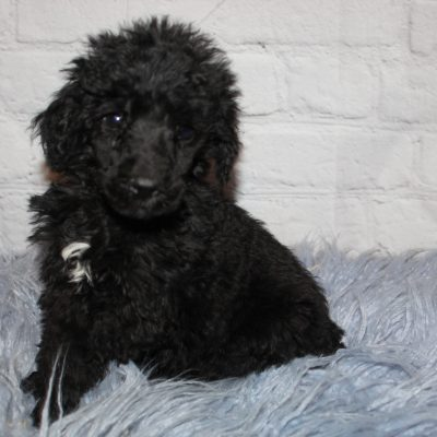 AKC Black Abstract (White) puppy for sale near Lucasvile, Ohio
