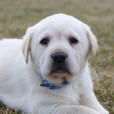 Bella - CKC Labradoodle pupper for sale in New Haven, Indiana
