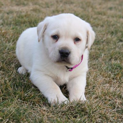 Brady - male CKC Labradoodle pupper for sale in New Haven, Indiana