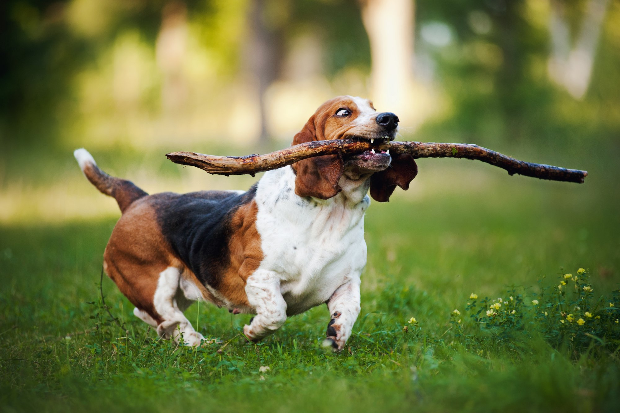 Basset Hound dog in training running on the grass with stick