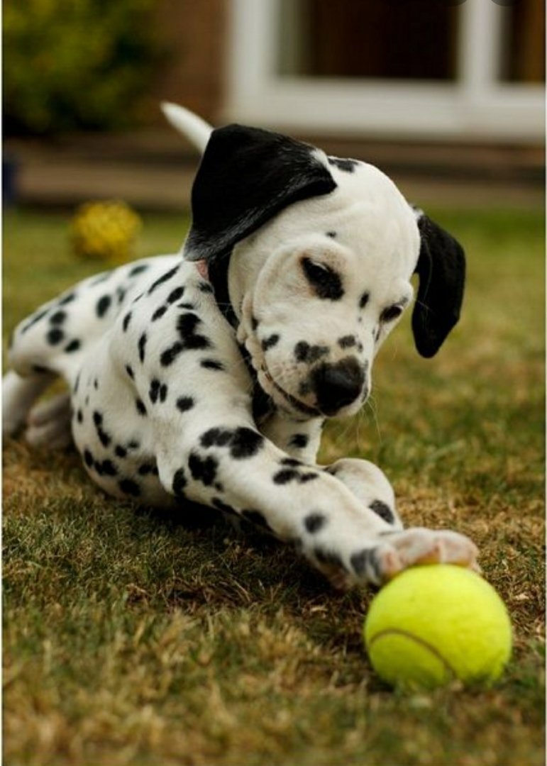 Curban - AKC Dalmatian pupper for sale at Cary, North Carolina