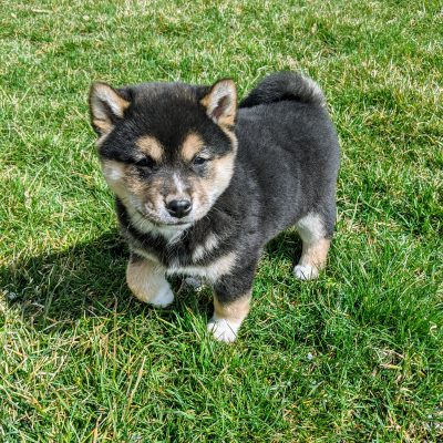 Rocky - AKC Shiba Inu pup for sale at Goshen, Indiana