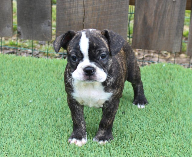 Fancy - Frenchton pupper for sale at Shipshewanna, Indiana