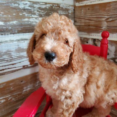 Somba - CKC Stanard Poodle puppy for sale near Alton, Missouri