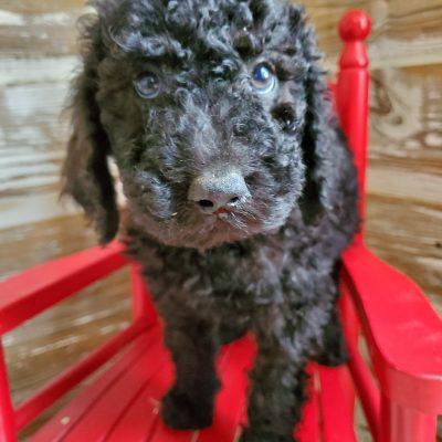 Sampson - male CKC Stanard Poodle pupper for sale at Alton, Missouri