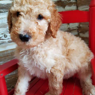 Sparky - pup CKC Stanard Poodle for sale in Alton, Missouri