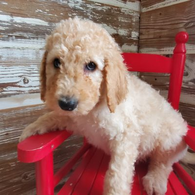 Sam - CKC Stanard Poodle puppie for sale at Alton, Missouri