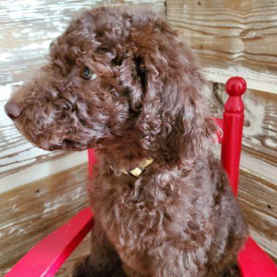 Morgan - CKC Labradoodle pup for sale in Alton, Missouri