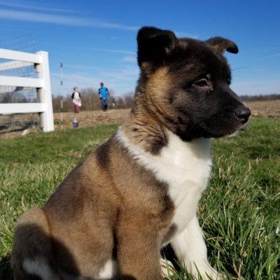 Yip - ACA American Akita puppy for sale near Union City, Ohio