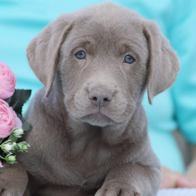 Max - DEUKC Labrador Retriever puppy for sale at Punta Gorda, Florida
