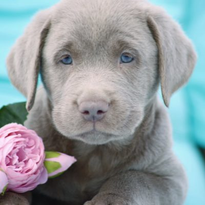 Magic - male DEUKC Labrador Retriever doggie for sale near Punta Gorda, Florida