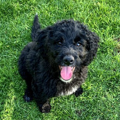 Maya - Mini Bernedoodle doggie for sale in Los Angeles, California