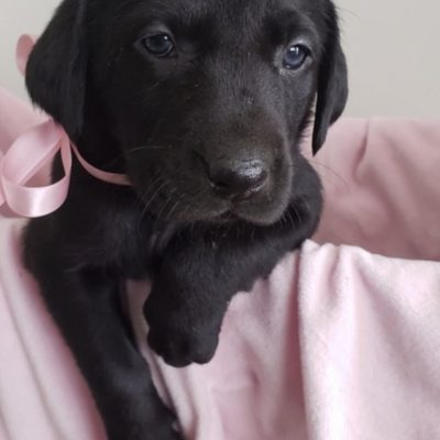 White Collar Color - AKC Labrador Retriever for sale in Loretto, Tennessee
