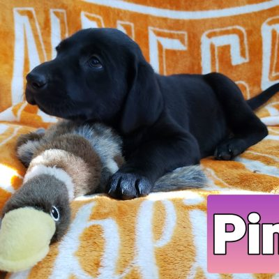 Pink Collar Color - AKC Labrador Retriever puppy for sale at Loretto, Tennessee