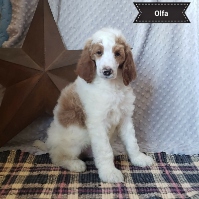 OLFA - male AKC Standard Poodle puppy for sale in Clare, Michigan