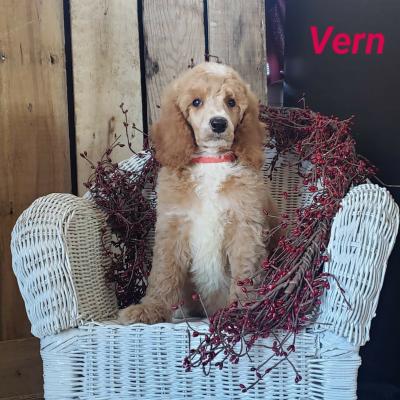 Vern - AKC Standard poodle pupper for sale near Clare, Michigan