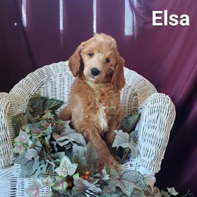 Elsa - AKC Standard poodle doggie for sale at Clare, Michigan