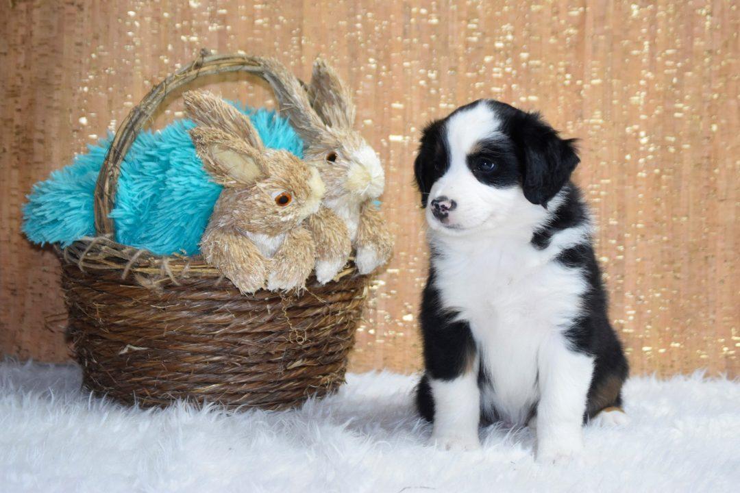 Sneezy - Miniature Australian Shepherd puppy for sale at Owensboro, Kentucky
