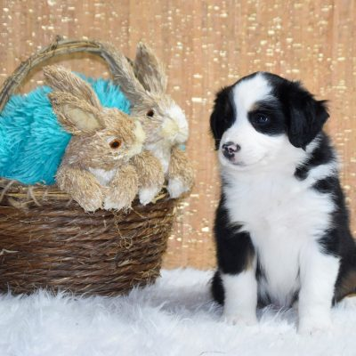 Sneezy - Miniature Australian Shepherd puppy for sale at Owensboro, Kentucky