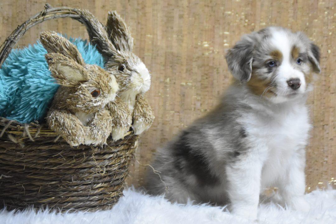 Dopey - male Blue Merle Miniature Australian Shepherd doggie for sale at Owensboro, Kentucky