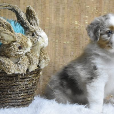 Dopey - male Blue Merle Miniature Australian Shepherd doggie for sale at Owensboro, Kentucky