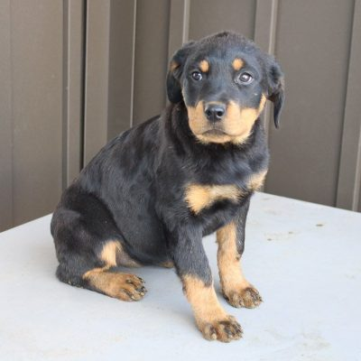 Makayla - AKC Rottweiler pup for sale at Shipshewana, Indiana