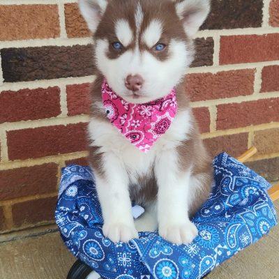 Cinnamon - ACA female Siberian Husky pup for sale in Grabill, Indiana