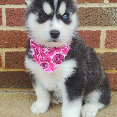 Rosie - ACA Siberian Husky puppie for sale near Grabill, Indiana