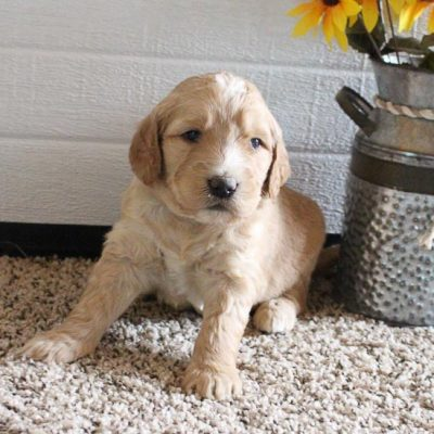Clement - male Goldendoodle pup for sale in New Haven, Indiana