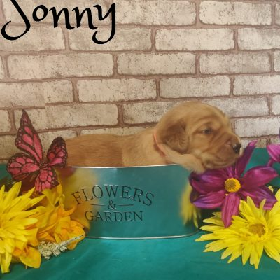 Sonny - Goldendoodle puppy for sale in Saint Cloud, Florida