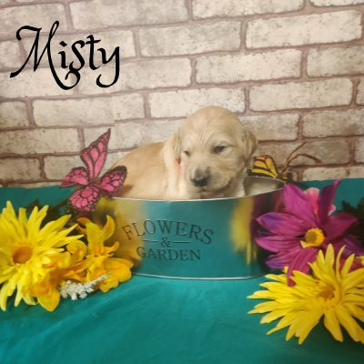 Misty - Goldendoodle pup for sale at Saint Cloud, Florida
