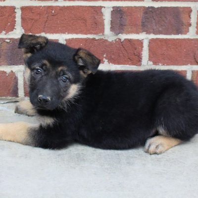 Skye - AKC German Shepherd pup for sale near Grabill, Indiana