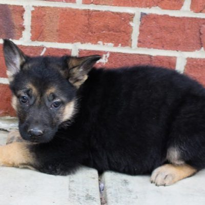 Precious - AKC German Shepherd puppy for sale in Grabill, Indiana