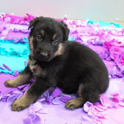 George - AKC German Shepherd male pup for sale in New Haven, Indiana