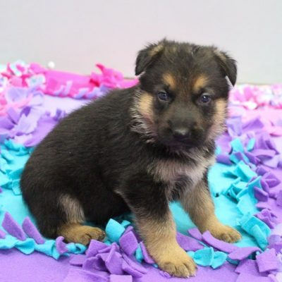 DeeJay - AKC German Shepherd pupper for sale at New Haven, Indiana