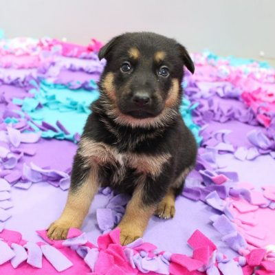 Savilla - female AKC German Shepherd puppy for sale in New Haven, Indiana