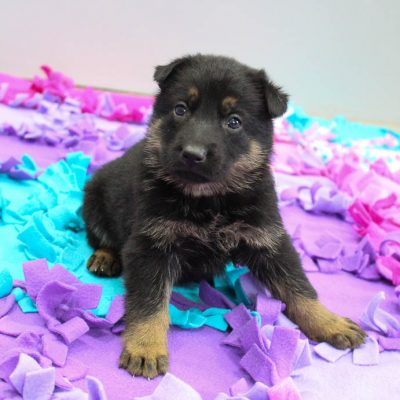 Debby - AKC German Shepherd doggie for sale at New Haven, Indiana