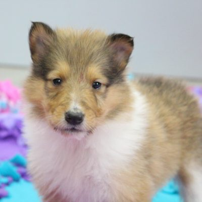 Katy - CKC Collie puppie for sale near New Haven, Indiana