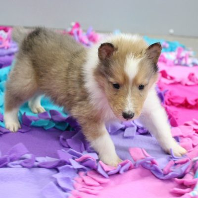 Sammy - CKC Collie pup for sale in New Haven, Indiana