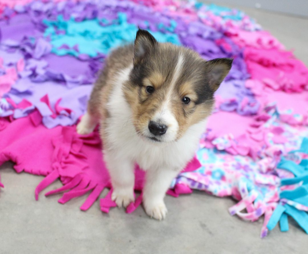 Becky - doggie CKC Collie for sale at New Haven, Indiana