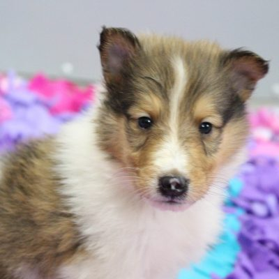 Rocky - pupper CKC Collie for sale in New Haven, Indiana