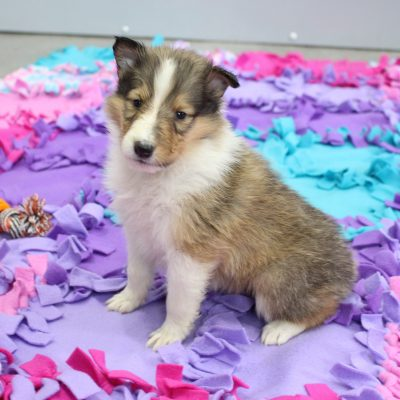 Janet - CKC Collie puppy for sale in New Haven, Indiana